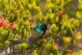 South Africa, Cape Town, Table Mountain, Hummingbird Photographic Print by Catharina Lux