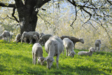 Meadow, Sheep, Graze, Cherry Trees Photographic Print by Herbert Kehrer