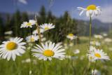 Oxeye Daisy (Leucanthemum Vulgare), Flower Meadow, Near Windischgarsten, Upper Austria Photographic Print by Rainer Mirau