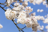 Blossoming Cherry Tree, Detail of a Blossoming Branch with Blue Sky, Fujiyoshida Photographic Print by P. Kaczynski