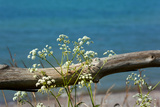 The Baltic Sea, RŸgen, Yarrow in Front of Blue Sea Photographic Print by Catharina Lux