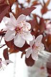 Fleurs de cerisier Reproduction photographique par Jule Leibnitz