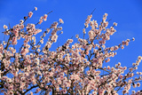 Blossoming Almond Tree, Prunus Dulcis, Is Blossoming, Rhinland Palatinate, Gimmeldingen Lámina fotográfica por Ronald Wittek