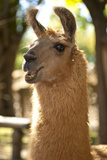 Argentina, Patagonia, Junin De Los Andes, Farm, Llama, Portrait Photographic Print by Chris Seba