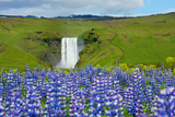 Skogafoss, Lupins in the Foreground Photographic Print by Catharina Lux