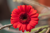 Flower, Gerbera, Blossom Photographic Print by Nikky Maier