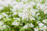 Wild Garlic, Allium Ursinum, Detail, Blossoms Photographic Print by Frank Lukasseck