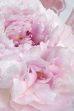 Peony Blossoms, Pink, Close Up Photographic Print by Manuela Balck