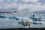 Jškulsarlon - Glacier Lagoon, Morning Light, Sheep Photographic Print by Catharina Lux