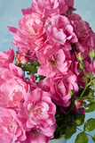 Twig of a Dog Rose with Many Blossoms Photographic Print by Brigitte Protzel