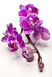 Violet Orchid Photographic Print by Uwe Merkel