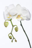 White Orchid Photographic Print by Uwe Merkel