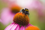 Bumblebee on Echinacea Blossom Photographic Print by Brigitte Protzel