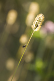 Delicate Grass in the Backlight, Fly, Stalk, Close-Up Photographic Print by Brigitte Protzel