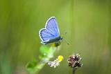Gossamer-Winged Butterfly (Lycaenidae) in a Meadow Photographic Print by Brigitte Protzel