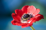 Red Poppy Blossom, Close-Up Photographic Print by Brigitte Protzel