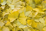 Ginkgo Leaves with Dewdrops Photographic Print by Brigitte Protzel