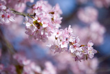 Branch of Cherry Blossoms Photographic Print by Brigitte Protzel
