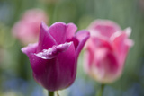 Purple and Pink Tulips with Raindrops Photographic Print by Brigitte Protzel