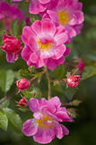 Dog Rose Bush, Blossoms, Close-Up Photographic Print by Brigitte Protzel