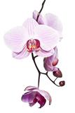 Pink Orchid Photographic Print by Uwe Merkel