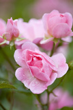 Pink Roses, Close-Up Photographic Print by Brigitte Protzel