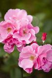 Rose, Blossoms, Bud, Medium Close-Up Fotodruck von Brigitte Protzel