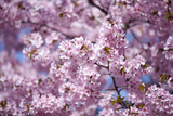 Branch of Cherry Blossomses Photographic Print by Brigitte Protzel