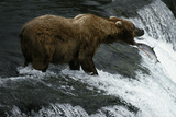 USA, Alaska, Katami National-Park, Waterfall, Grizzly Bear Photographic Print by Frank Lukasseck