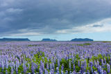 Iceland, Nature, View Direction Iceland, Dyrholaey, Lupin Field Photographic Print by Catharina Lux