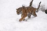 Siberian Tiger, Panthera Tigris Altaica, Subadult in Winter Fotografie-Druck von Andreas Keil