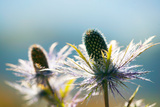 Alpine Sea Holly, Eryngium Alpinum, Detail Photographic Print by Alfons Rumberger
