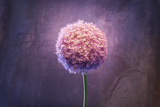 Allium, Flower, Blossom, Still Life, Allium Giganteum, Pink Stampa fotografica di Axel Killian