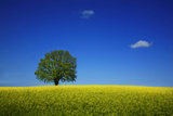 Oak in a Blossoming Rape Field Near Ottendorf Photographic Print by Uwe Steffens