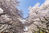 Blossoming Cherry Trees in the Ueno Park, Hanami, Tokyo, Kanto Region, Honshu, Japan Photographic Print by P. Kaczynski