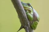 Frog, European Tree Frog, Hyla Arborea Photographic Print by Rainer Mirau