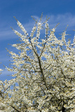 Cherry Tree, Prunus Avium, Detail, Branches, Blooms, Spring, Plant, Tree, Fruit Tree, Rose Plant Photographic Print by Chris Seba