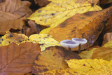 Mushrooms Sprout Between Coloured Autumn Foliage on the Forest Floor Photographic Print by Uwe Steffens