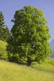 Rainer Mirau - Sycamore Maple, Ennstal, Styria, Austria Fotografická reprodukce