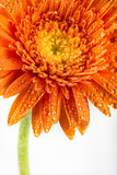 Gerbera in Orange Photographic Print by Uwe Merkel
