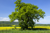 Germany, Eastern Westphalia, District Hšxter, Oak in the Rape Field Photographic Print by Chris Seba