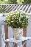 Flowerpot, Asters, Autumn Flowers, Chair Photographic Print by Andrea Haase