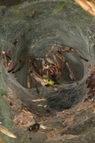 Agelena Labyrinthica, Funnel-Web Spider, Den, Prey, Grasshopper Photographic Print by Harald Kroiss