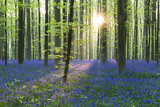 European Beech Forest (Fagus Sylvatica) and Bluebells (Hyacinthoides Non-Scripta) in the Backlight Fotografisk tryk af P. Kaczynski
