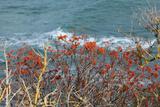 The Baltic Sea, RŸgen, Steep Coast, North Beach, Rowanberries Photographic Print by Catharina Lux