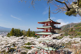Chureito Pagoda Between Blossoming Cherry Trees, Arakura-Yama Sengen-Koen Park, Chubu Region Photographic Print by P. Kaczynski