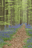 Belgium, Flanders, 'Hallerbos' (Forest), Beech Forest, Copper Beeches Photographic Print by Andreas Keil