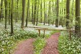 Beech Forest, Forest Path, Forest Floor, Wild Garlic, Allium Ursinum Photographic Print by Frank Lukasseck