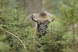 Bison, Bison Bonasus, Wood, Frontal, Standing, Looking at Camera Photographic Print by David & Micha Sheldon