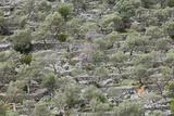 Spain, Majorca, Serra De Tramuntana, Caimari, Olive Grove, Terraces Photographic Print by Rainer Mirau